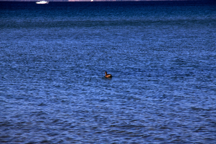 This is a duck swimming on Lake Tahoe.