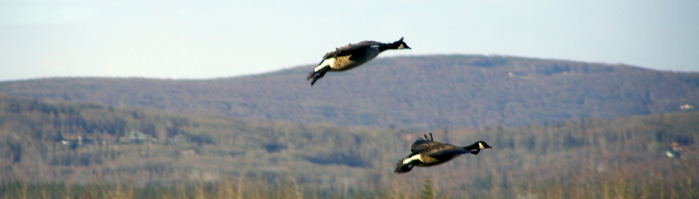 Here is a pair of flying geese at Creamers Field in Fairbanks, AK.