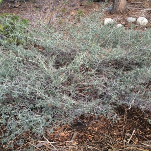 A Sage bush near Fallen Leaf Lake.