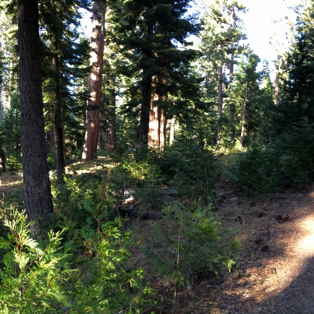 This is a panoramic of trees and a trails near Fallen Leaf Lake and South Lake Tahoe, CA.