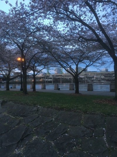 Some flowering Cherry Trees in Portland along the Willamette River.