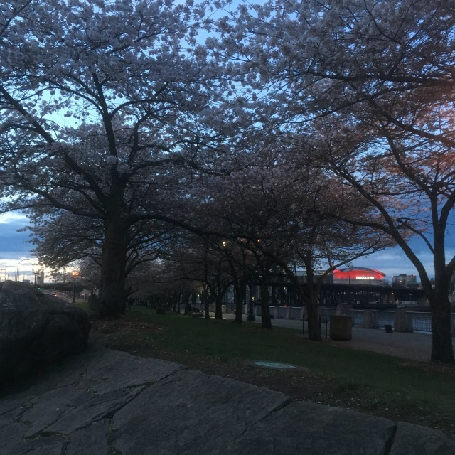 Here a two rows of Cherry Trees and in the background is the Moda Center.