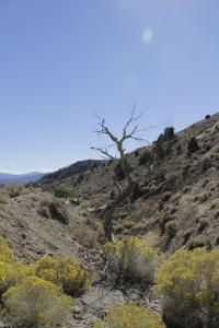 A Dead Tree in a Valley along a road from Virginia City, Nevada.