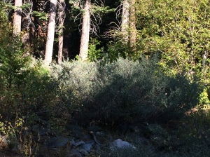 Some sunlight on some trees and tops of shrubs in the Sierra Nevada Mountains.